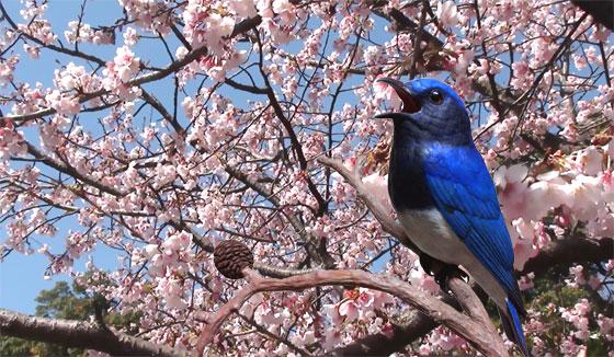 桜とカービングのオオルリ