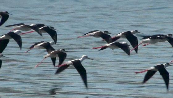 セイタカシギの飛翔