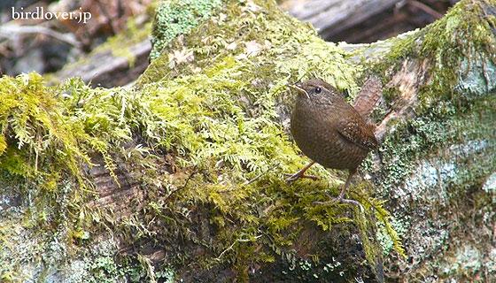 巣作り中のミソサザイ