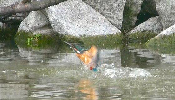 カワセミの飛び込み写真1