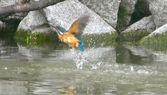 カワセミの飛び込み写真2