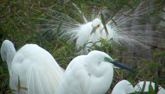 白鷺の飾り羽