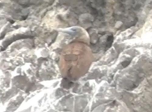 カツオドリ幼鳥