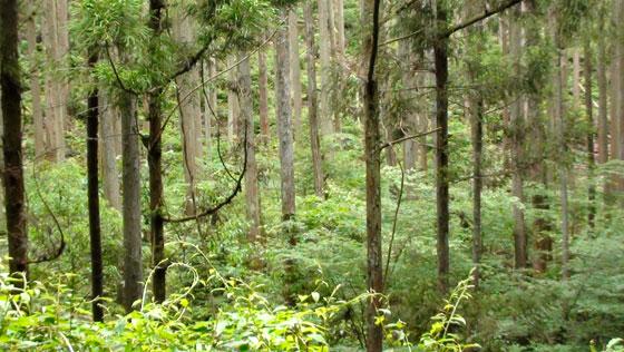サンコウチョウの森