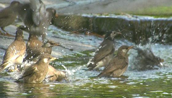 ムクドリの水浴び