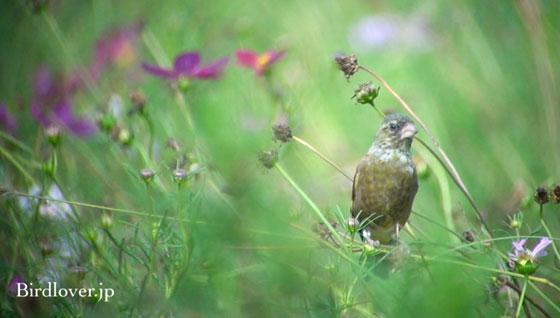 カワラヒワ幼鳥とコスモス
