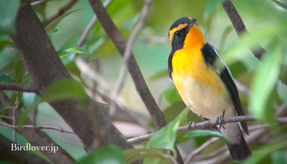 キビタキ雄鳥