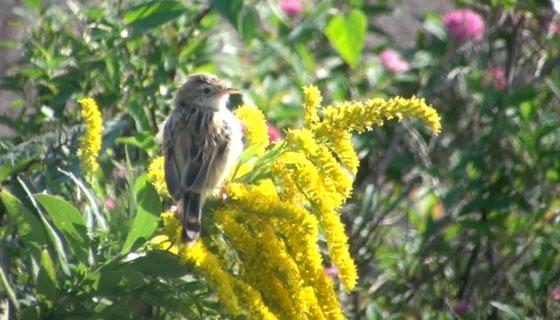 黄色い花とセッカ