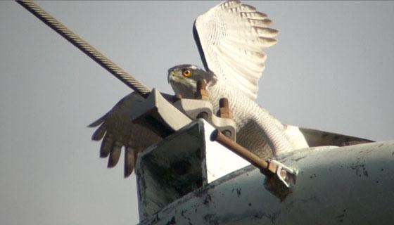 オオタカの飛翔