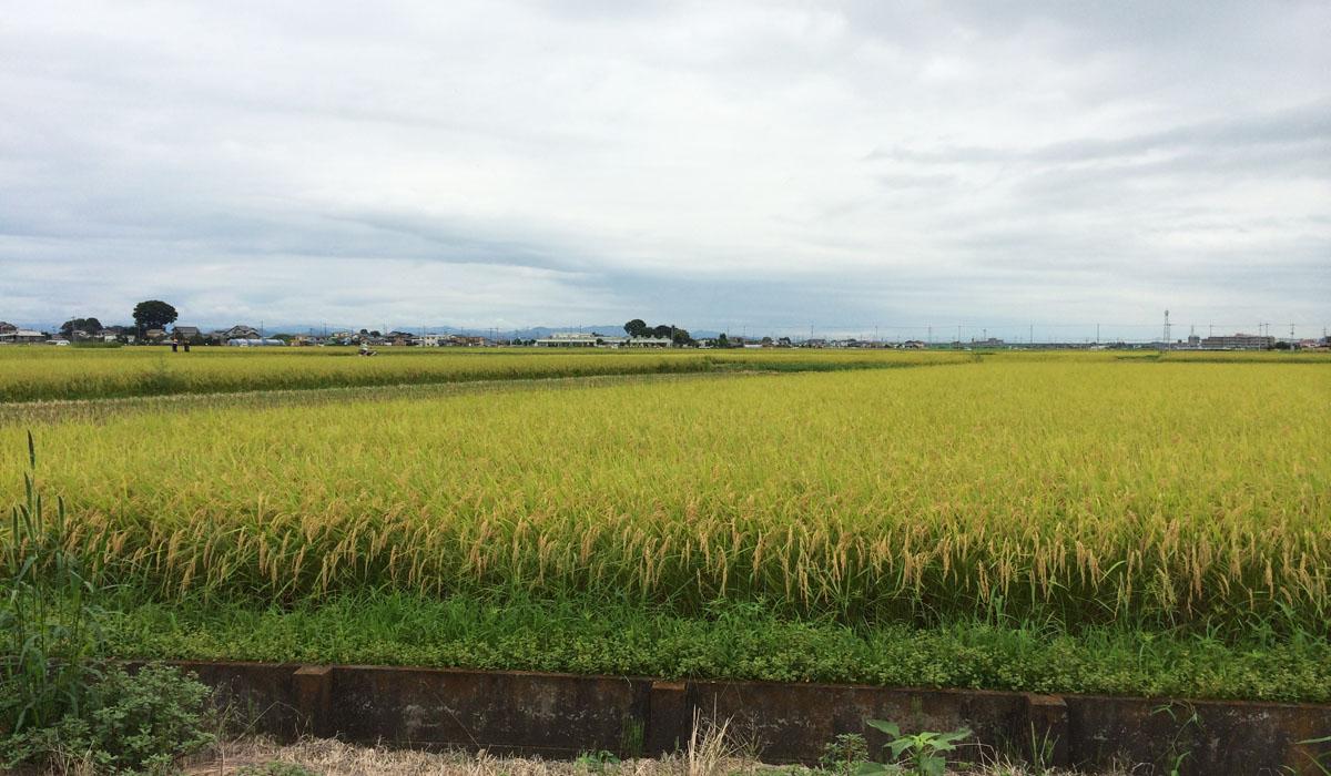 加須市の田圃