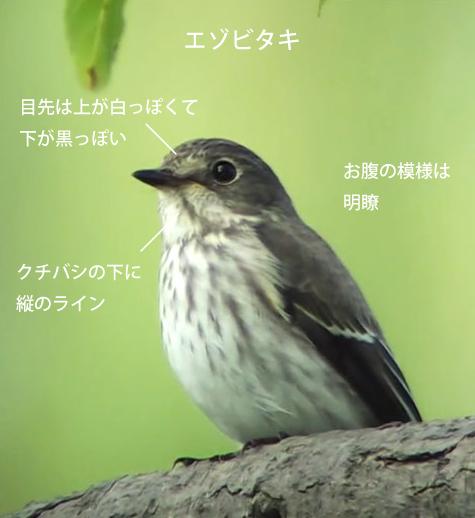 エゾビタキ、サメビタキとコサメビタキ比較
