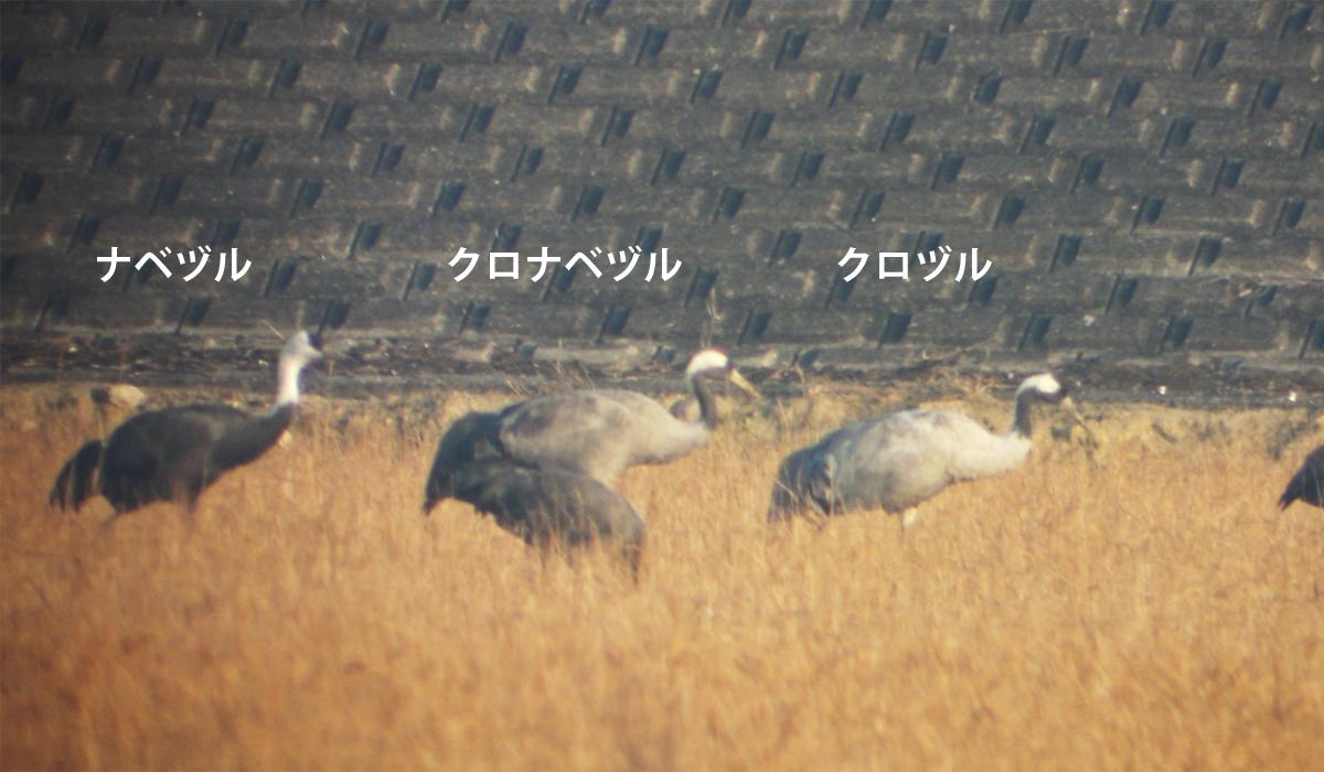 クロヅル&クロナベヅル