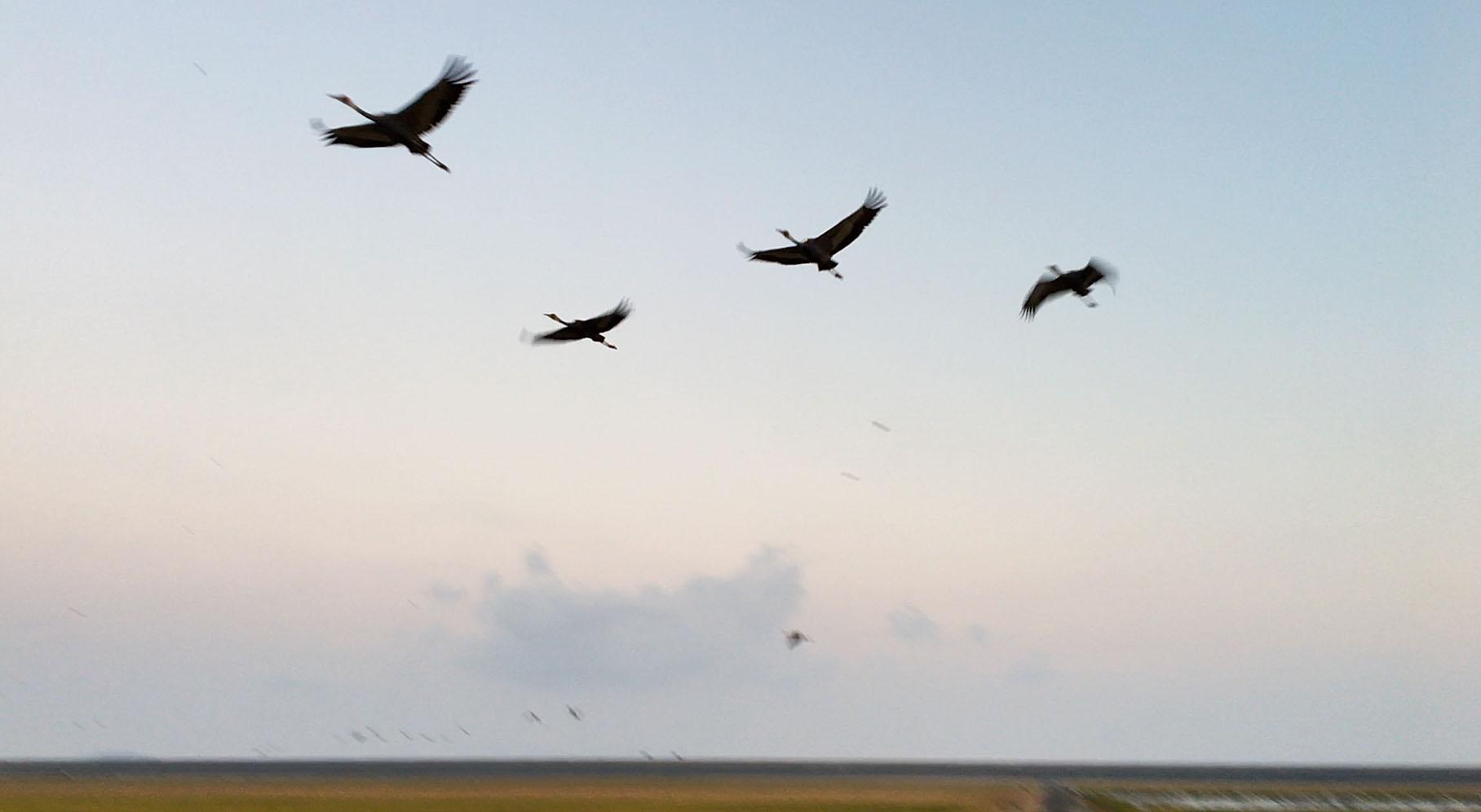 マナヅルの飛翔
