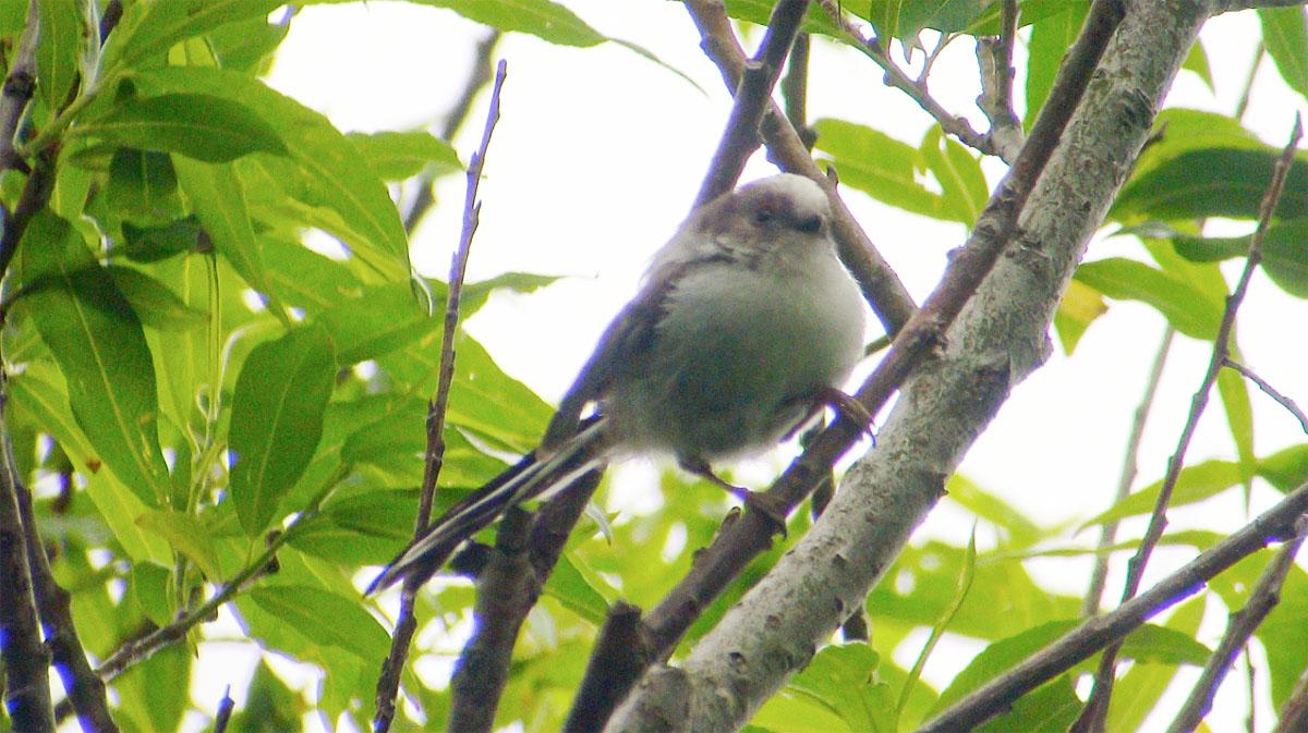 シマエナガの幼鳥