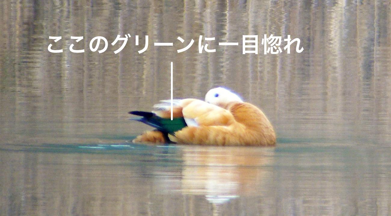 """""""アカツクシガモ・風切羽"""""""