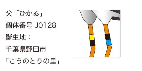 """""""コウノトリひかる君の足環"""""""