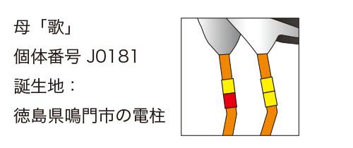 """""""コウノトリ歌ちゃんの足環"""""""