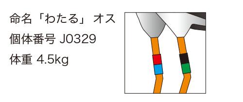 """""""コウノトリ・わたる君の足環"""""""